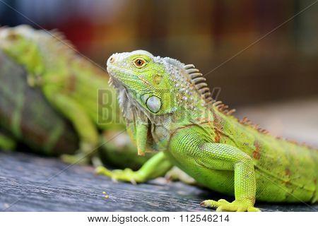 green lizard iguana