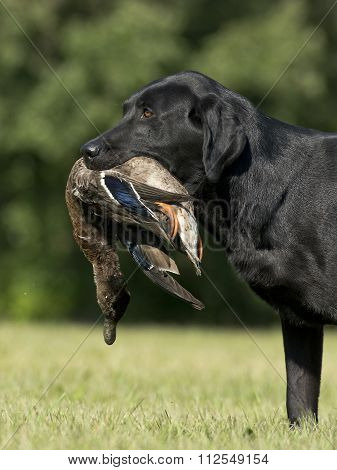 Black Lab with a Duck