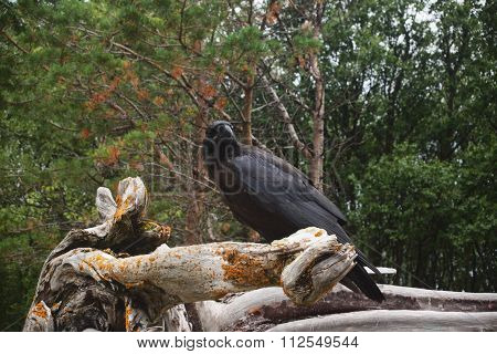 Raven Is Sitting On A Snag