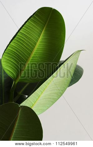 Large Green Leaves Of Ficus On A Neutral