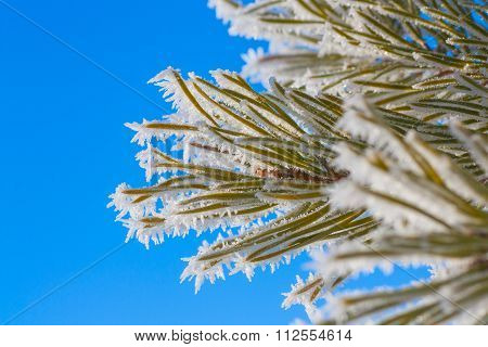 Hoar Frost On Pine Needles