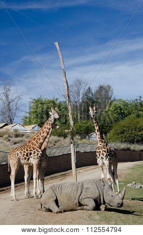 Feeding Family Of Giraffes, Accompanied By A Black Rhino