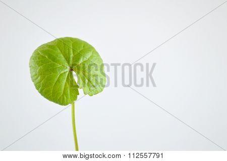 green centella asiatica tree plants