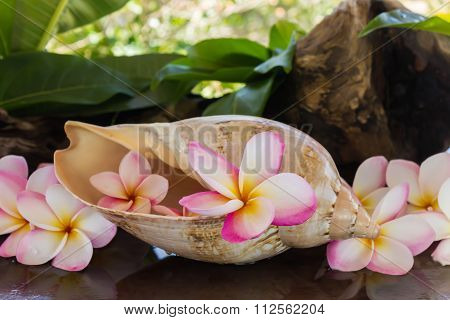 Pink Fragrant Flower Plumeria Or Frangipany In Sea Conch Shell