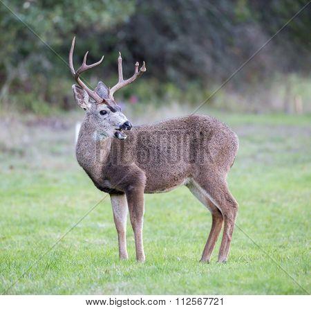 Black-tailed Deer, Odocoileus hemionus, Male