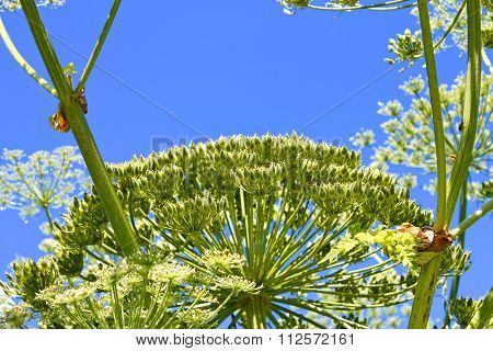 Giant Hogweed With Ripening Seeds