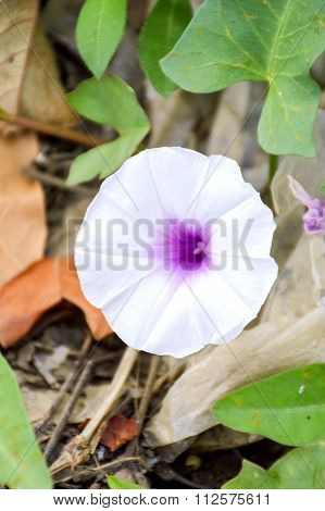 white Ipomoea aquatica Forsk flower in nature garden
