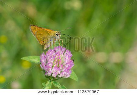 Skipper butterfly sucking nectar on flowering wild clover