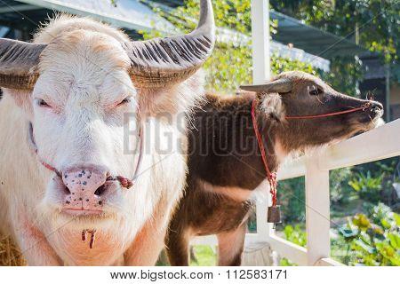 Thai Albino buffalo (Pink buffalo)