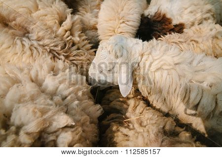Sheep in countryside farm.
