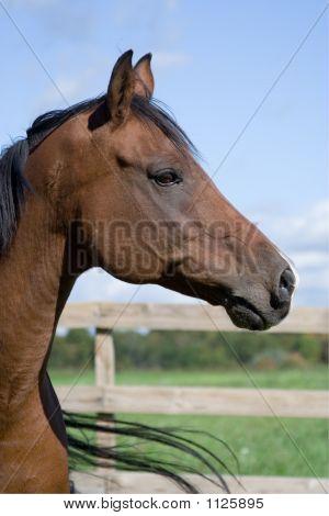 Handsome Arabian