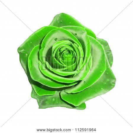 Green rose