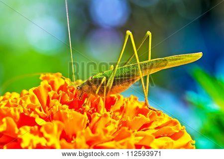 The Green Grasshopper (tettigonia Viridissima)
