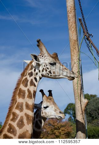 A Couple Of Young Giraffes Feeding From A Pole In Safari Park