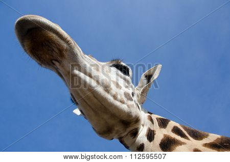 Looking At Giraffe From Below In A Safari Park