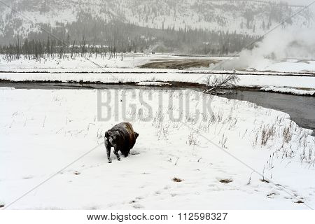 Yellowstone American Bison Bull