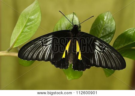 Philippinesl Golden Birdwing  Butterfly Rest On The Plant