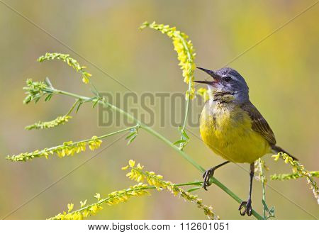yellow Wagtail in the meadow sings