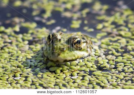 toad in water
