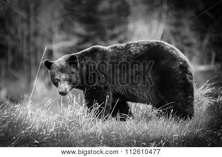 Black Bear (ursus Americanos) Closeup Walking