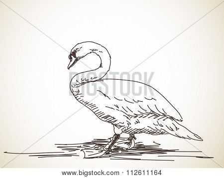 Sketch of swan. Hand drawn illustration