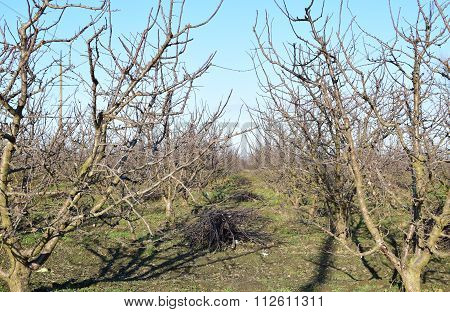 Winter Young Orchard