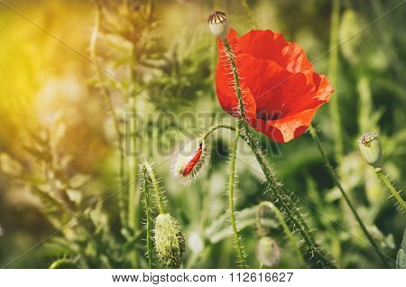 Poppy Flower With Sun