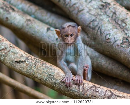 Baby Crested Macaque, part of the Banyan Tree Troop Bangalore India.