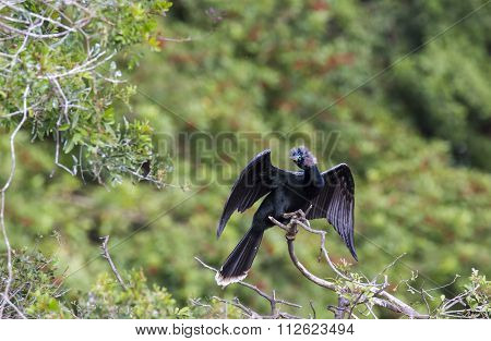 Anhinga In Breeding Plumage