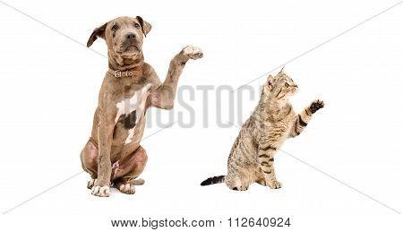 Funny puppy Pitbull and cat Scottish Straight