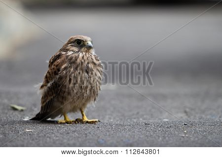 nestling bird of prey