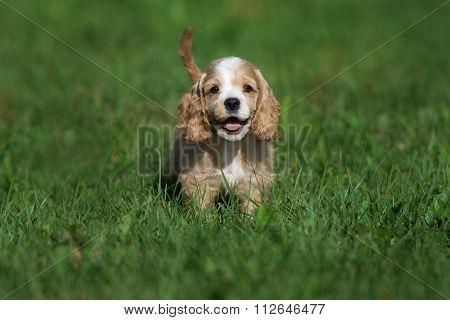happy american cocker spaniel puppy on grass