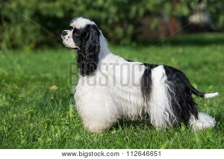 happy american cocker spaniel dog outdoors