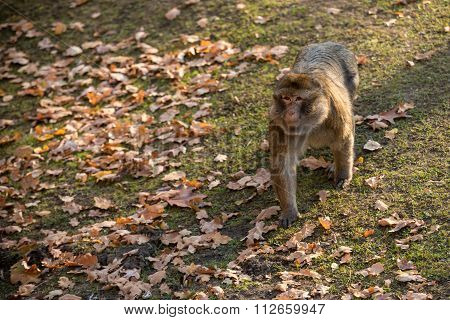 Monkey Macaca Sylvanus Walking At The Zoo