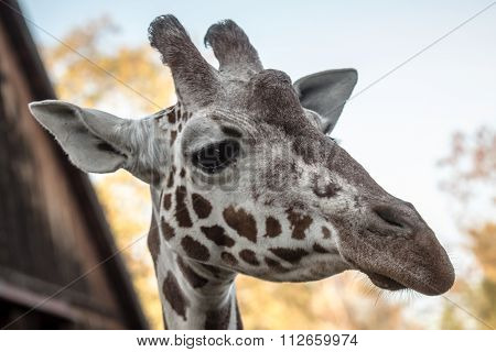 Portrait Of Giraffe At The Zoo