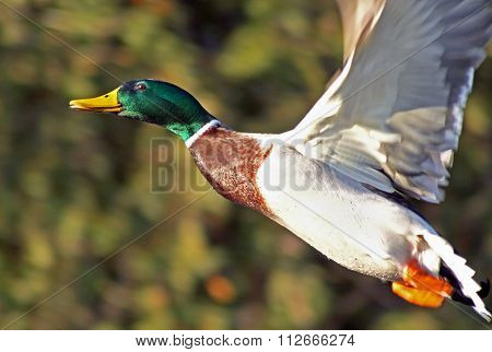 Mallard duck male with its distinctive markings flying free with wings spread