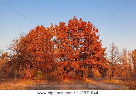 Red Oak Tree Against The Blue Sky