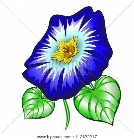 Flower Ipomoea