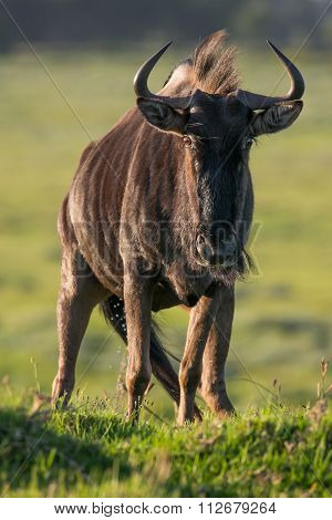 Wildebeest antelope with large curved horns on the African grass land