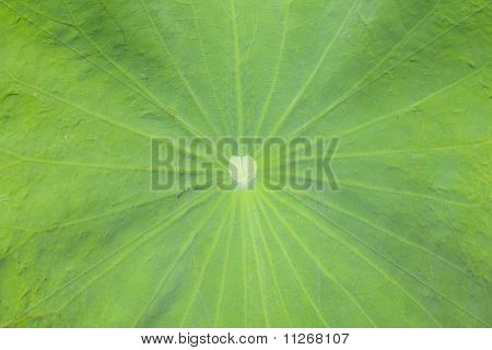 Texture of lotus leaf