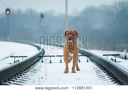 Portrait Of Bordeauxdog