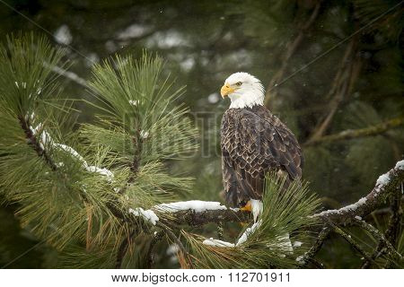 Bald Eagle In Snowy Tree.