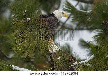 Pair Of Eagles In A Tree.