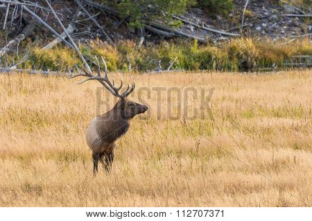 Bull Elk in Meadow