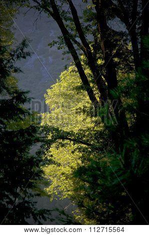 Lone Tree In Sunlight