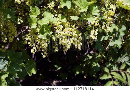 Red Currant Flowers