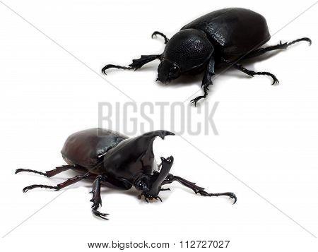 Male And Female Rhinoceros Beetle