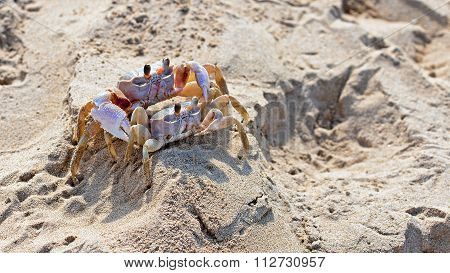 Red Rock Crab (grapsus Grapsus)