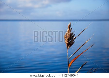 Colorful Solitude Reed Plant