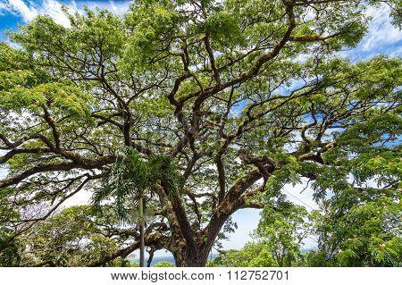 Giant Saman Tree On St Kitts